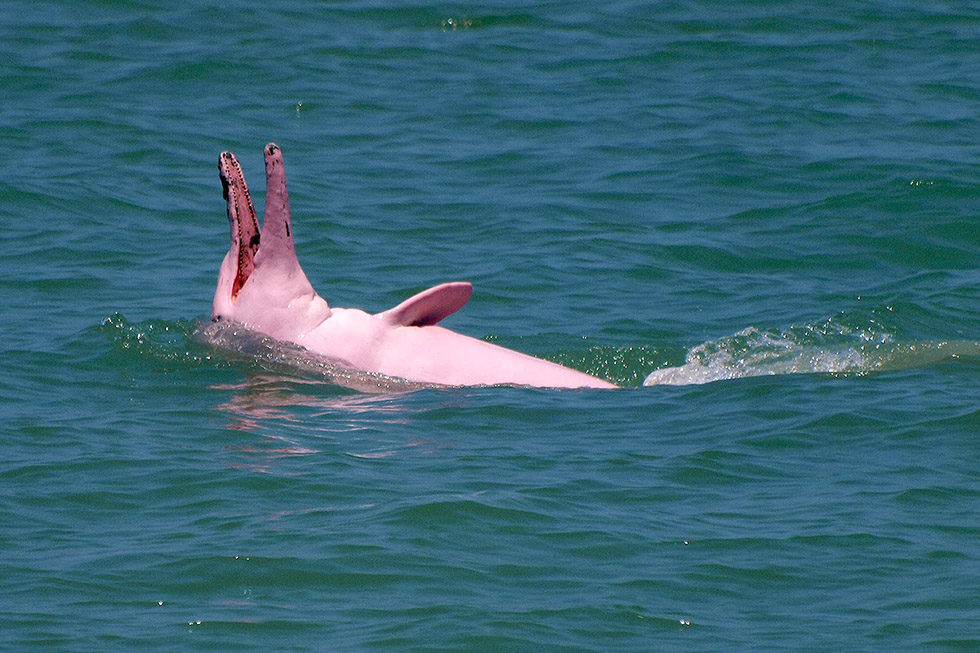 Pink Dolphins in Khanom: Real or just a Myth?