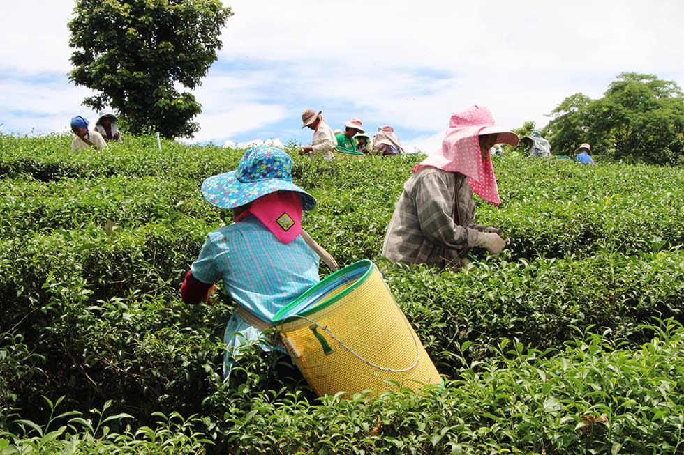 A Visit to Chiang Rai's Tea Plantations: Choui Fong Tea Plantation